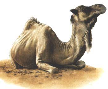 Chameau Camel